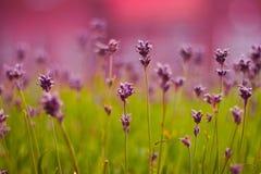 Пурпуровая лаванда в Голландии, лете Стоковое Изображение RF