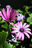Пурпуровая маргаритка Стоковые Изображения