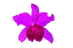 Пурпуровая орхидея изолированная на белой предпосылке Стоковое фото RF