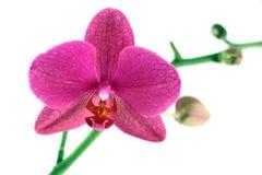 Пурпуровая орхидея Стоковые Изображения