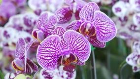 Пурпуровая орхидея сток-видео