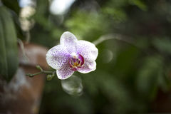 Пурпуровая орхидея Стоковая Фотография