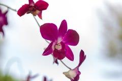 Пурпуровая орхидея Стоковая Фотография RF