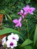 Пурпуровая орхидея стоковые фотографии rf