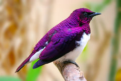 Пурпуровая птица Стоковое Изображение