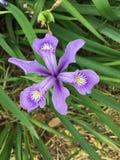 Пурпуровая радужка Стоковые Фотографии RF