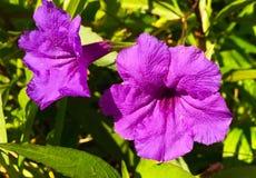 Пурпуровая страсть Стоковое Изображение RF