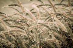 Пурпуровая трава фонтана Стоковое фото RF