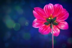 Пурпуровая хризантема Стоковые Изображения RF