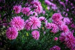 Пурпуровая хризантема Стоковое Фото
