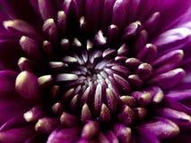 Пурпуровая хризантема Стоковое Изображение