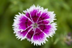 Пурпуровая mauve деталь цветка Стоковые Фотографии RF