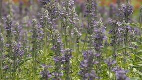 Пурпуровое поле цветков сток-видео