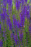 Пурпуровое поле Стоковое Фото