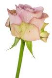 пурпуровое романтичное подняло Стоковое Изображение