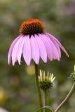 Пурпуровое цветение coneflower Стоковые Изображения RF