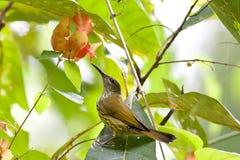 Пурпуровое-naped Sunbird Стоковая Фотография