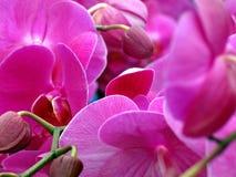 пурпурово Стоковое Изображение