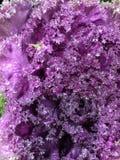 пурпурово Стоковые Фото