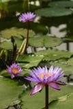 Пурпуровые лилии воды Стоковые Фотографии RF
