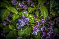 Пурпуровые лилии Стоковая Фотография