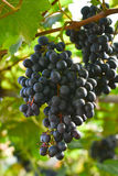 Пурпуровые красные виноградины с зелеными листьями на лозе Стоковые Изображения RF