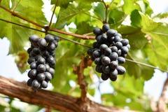 Пурпуровые красные виноградины с зелеными листьями на лозе Стоковое фото RF