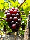 Пурпуровые красные виноградины с зелеными листьями стоковое фото rf