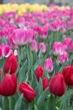 пурпуровые красные тюльпаны Стоковые Изображения RF