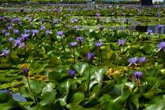 Пурпуровые лилии воды Стоковые Изображения RF
