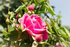 пурпуровые розы Стоковое фото RF