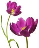 пурпуровые тюльпаны весны Стоковая Фотография RF