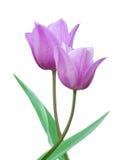 пурпуровые тюльпаны молодые Стоковая Фотография RF