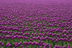 пурпуровые тюльпаны Стоковые Изображения RF