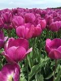 Пурпуровые тюльпаны в поле Стоковые Фото