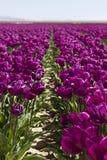 пурпуровые тюльпаны Стоковое Фото