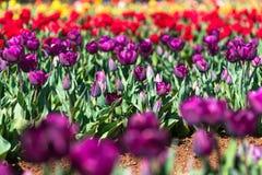 пурпуровые тюльпаны Стоковые Фото