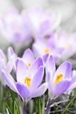 Пурпуровые цветения крокуса Стоковое Фото