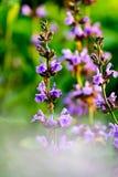 Пурпуровые цветеня Стоковые Изображения RF