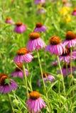 Пурпуровые цветки в поле Стоковая Фотография