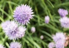 Пурпуровые цветки в поле Стоковые Фотографии RF