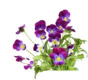 Пурпуровые цветки Pansy Стоковые Изображения