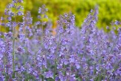 пурпуровые wildflowers Стоковые Изображения