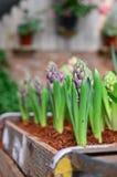 Пурпуровый бутон hyacinthus Стоковые Фотографии RF