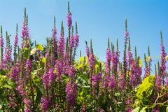Пурпуровый вербейник стоковые фотографии rf