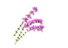 Пурпуровый вереск колокола Стоковая Фотография