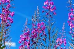 Пурпуровый высокогорный Fireweed Стоковое Изображение RF