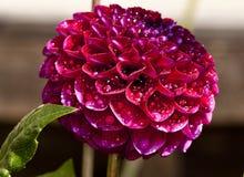 Пурпуровый георгин стоковое фото rf