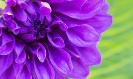 Пурпуровый георгин Стоковое Изображение