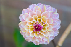 Пурпуровый георгин стоковая фотография rf